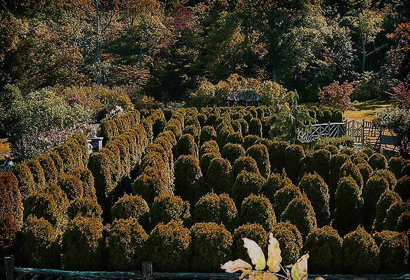Mohonk Mountain House Hedge Maze - Shining?