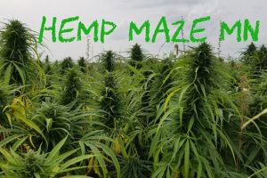 Hemp Maze Minnesota Halloween Maze